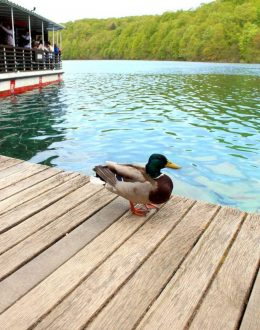 Plitvice-duck-on-the-pier